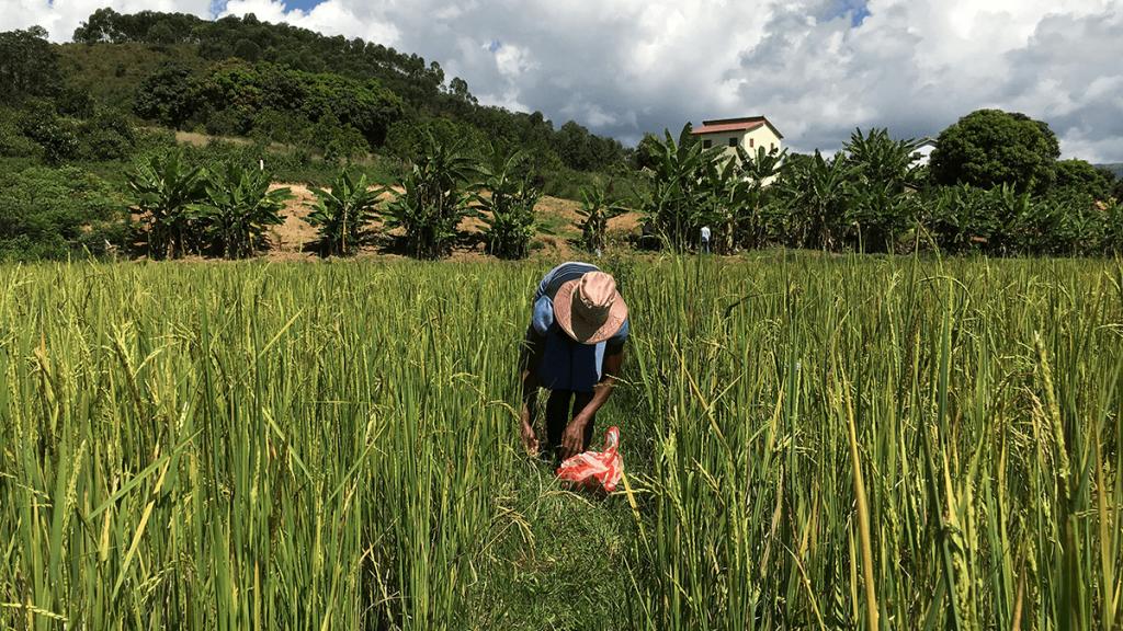 Récolte de la Centella au bord des rizières, à Madagascar