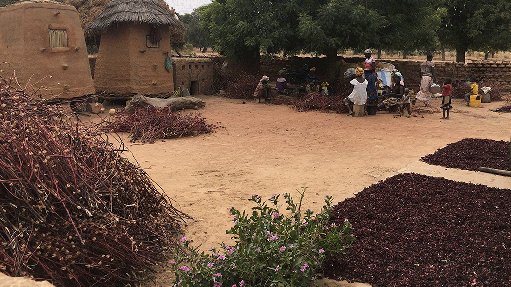 Preparing the dry calyx of Roselle in Burkina Faso