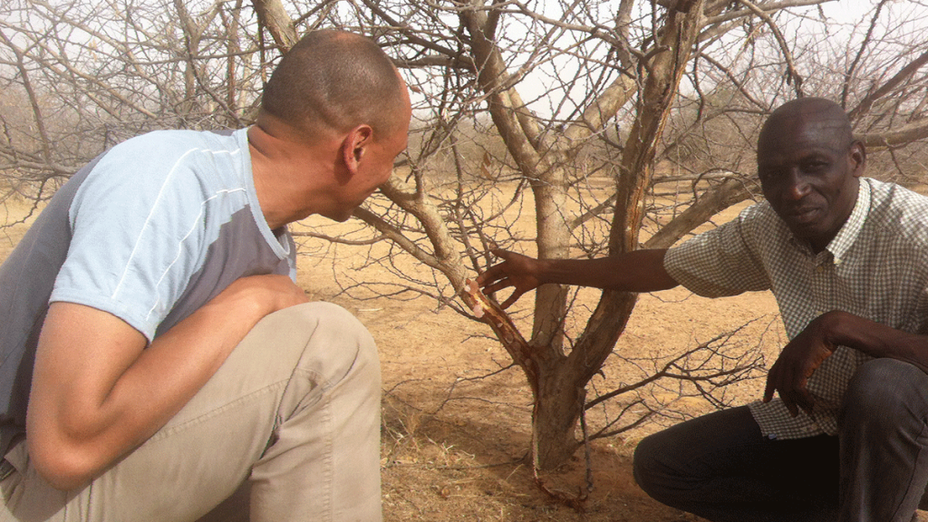 Observing the production potential of Acacia gum in Senegal