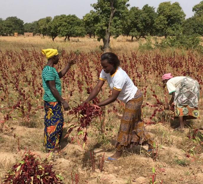 Récolte de l'hibiscus par un des groupements de femmes impliqué dans notre filière d'approvisionnement au Burkina Faso